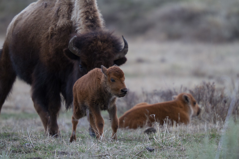 Bison cow calf red dog Yellowstone National Park WY IMG_7021.jpg