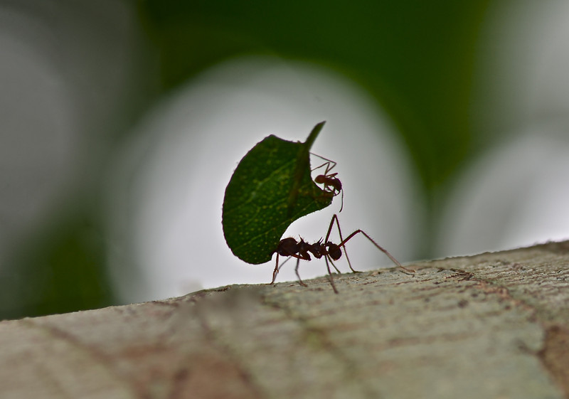 Leaf Cutter Ant with baby on board