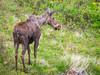 Palouse Prairie Moose