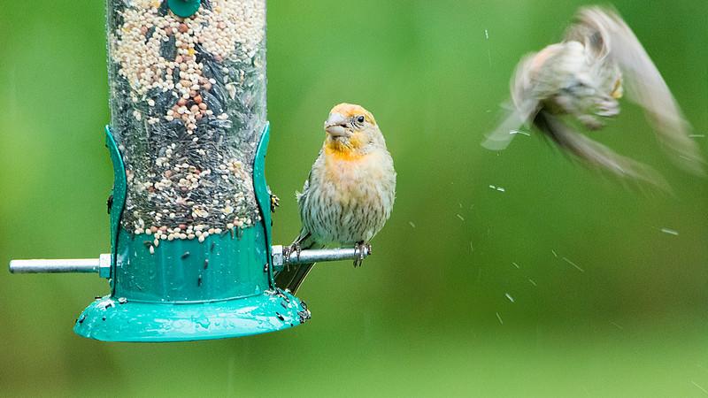 Irregular male House Finch compound photo