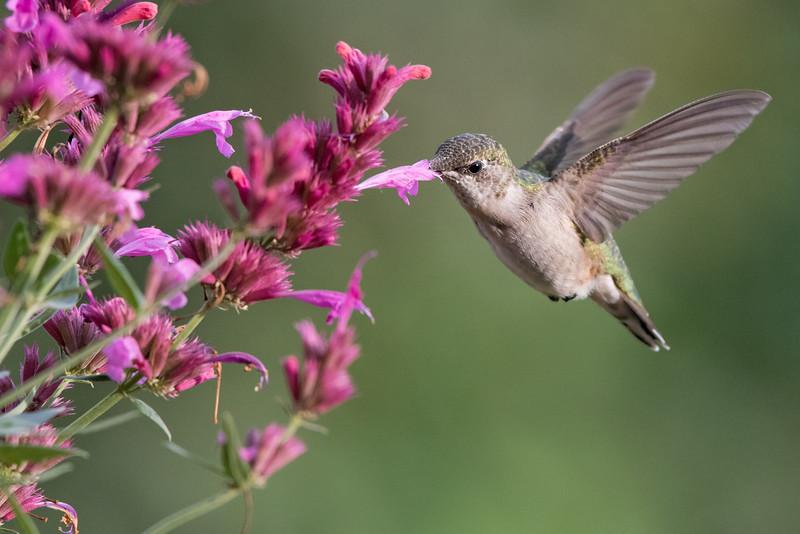 Hummingbird at Salvia 3