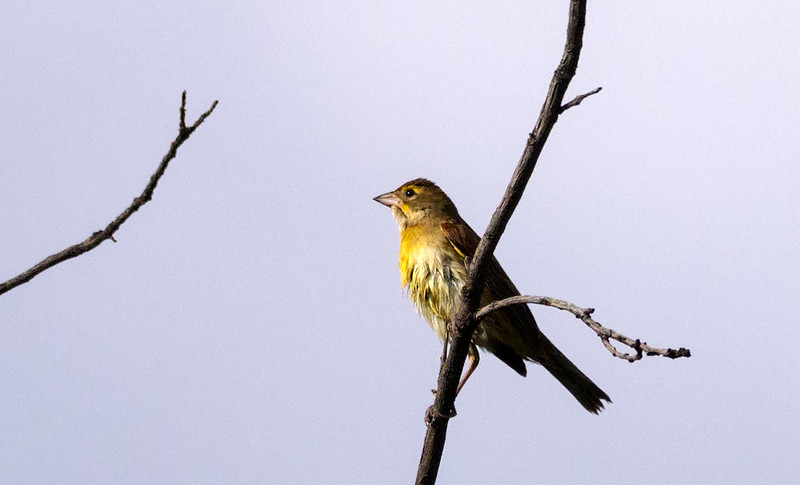 Dickcissel after a bath