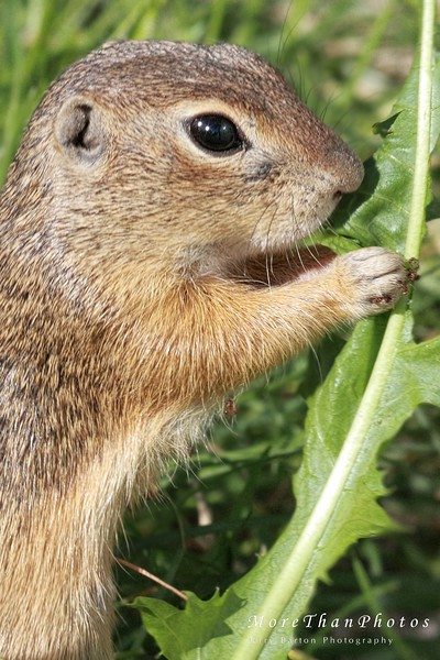 A dandy breakfast 2013-05-27  The last two days seem to have sped by without giving me time to post here.  I guess we are back to 'cute'.  A European Ground Squirrel munching on a leaf.  Looks like it didn't wash its hands before eating.