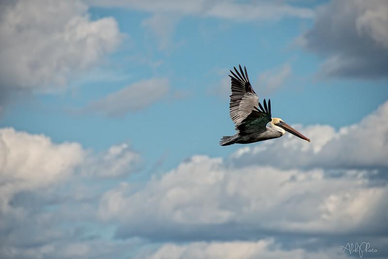 Pelican_6
