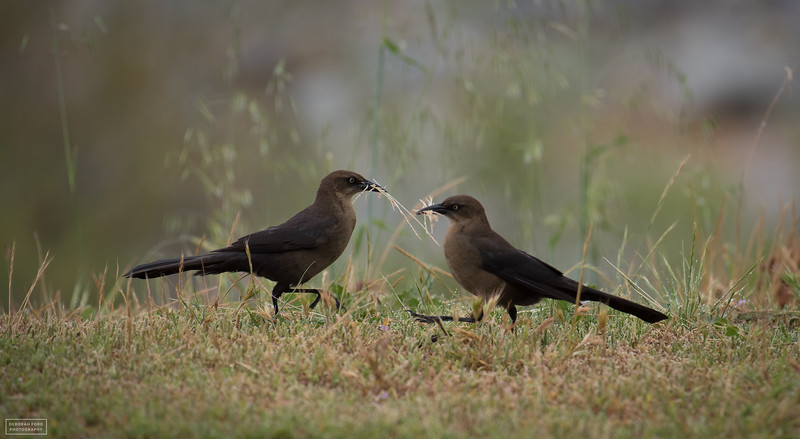 Great-tailed Grackles (females) gathering nesting material