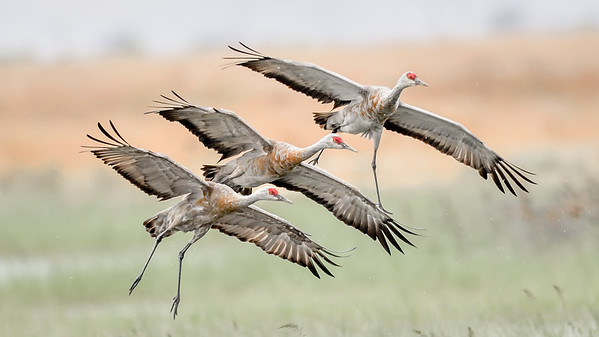 Sandhill Cranes Home For Winter – Merced California