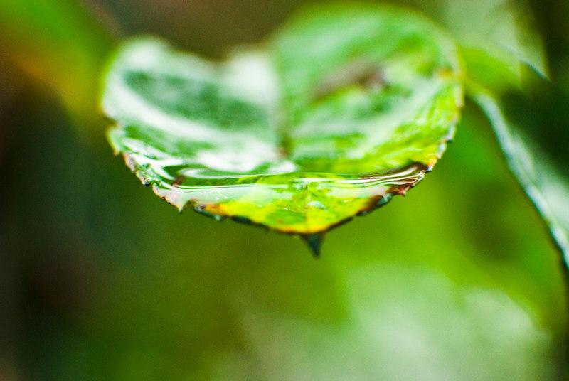 Water Leaf.jpg