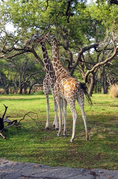 Giraffe   (Apr 23, 2005, 08:19am)