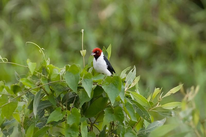Red-capped Cardinal (2) at Macaw Lick near Manu Wildlife Center, Peru (2008-07-10).psd