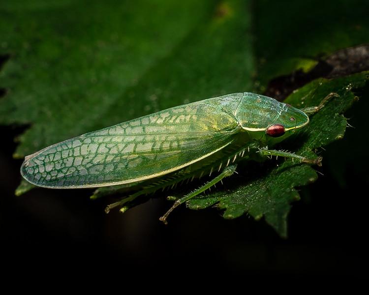 Gyponana Offula Leafhopper Family Cicadellidae - 1 --7-25-18.jpg