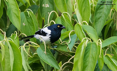 Tanagers and alliesFamily Thraupidae