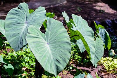 National Tropical Botanical Garden (McBryde Garden)