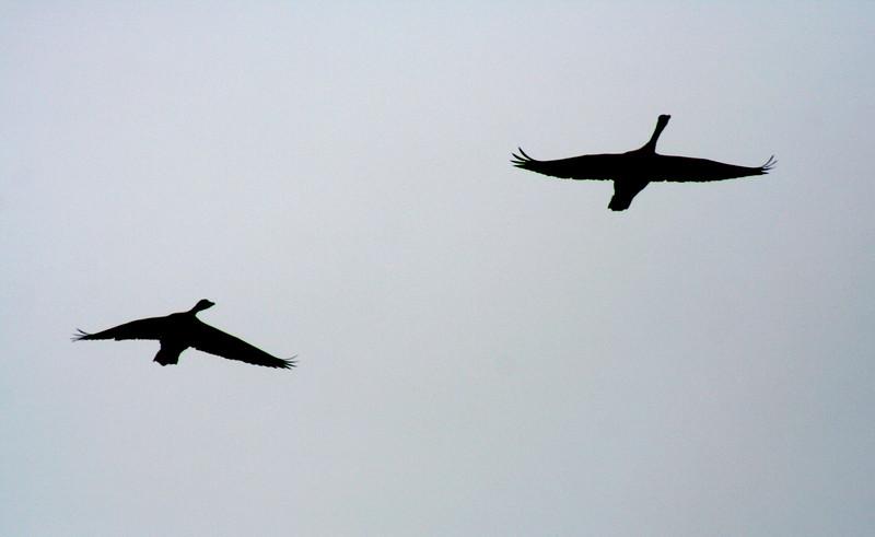 4437 Geese Silhouette.jpg