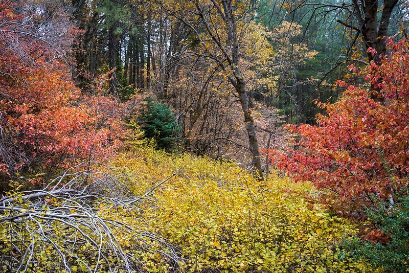 San_Bernardino_Mountains_Fall_Color_Dogwoods_Pine_Trees_DSC3290.jpg