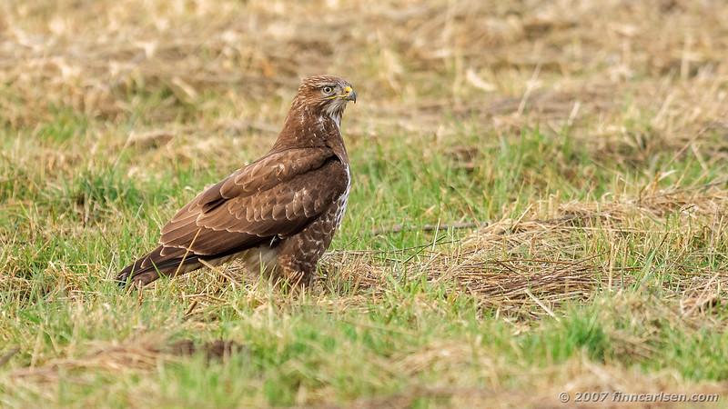Musvåge - Buteo buteo - Common Buzzard
