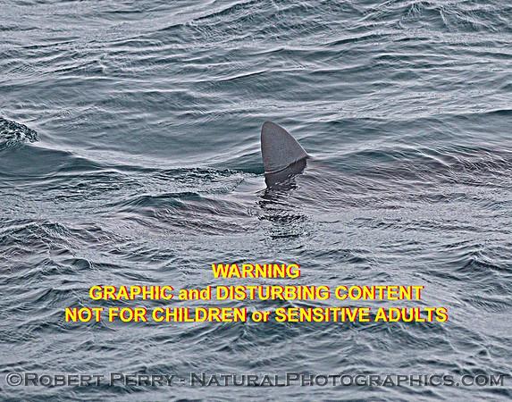 2021 08-11 SB Channel shark attack