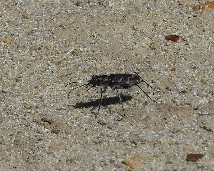 Oblique-lined Tiger Beetle