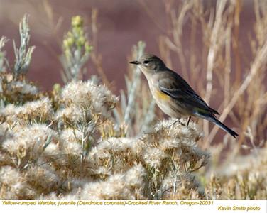 YellowRumpedWarblerJ20031.jpg