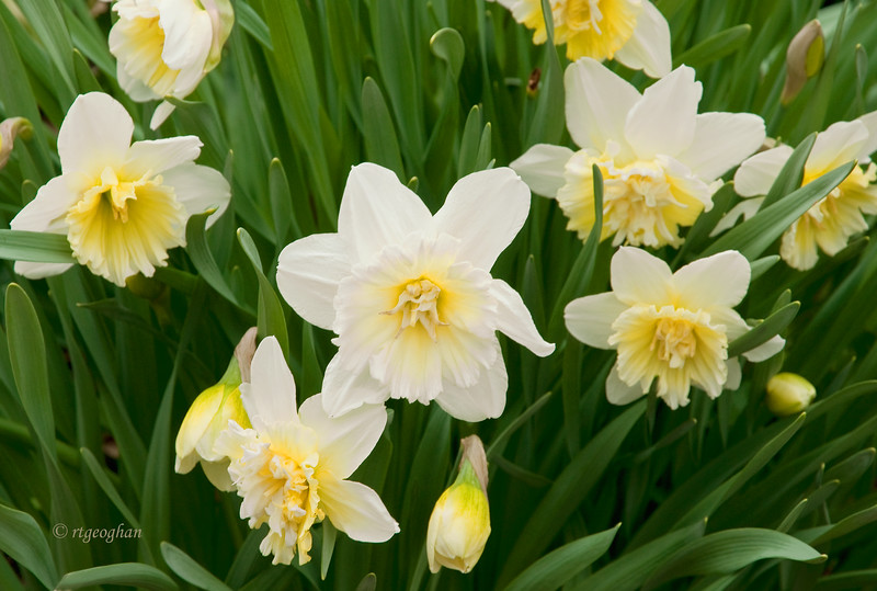 April 8_White Daffodils _1065.jpg