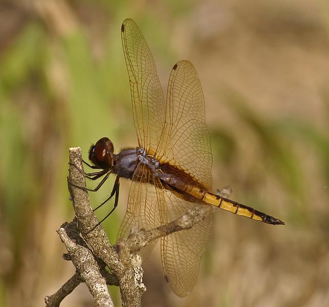 Miathyria marcella (Hyacinth Glider), TX - male