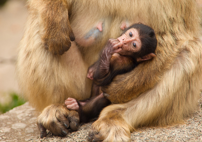 Baby barbary ape, Rock of Gibraltar.