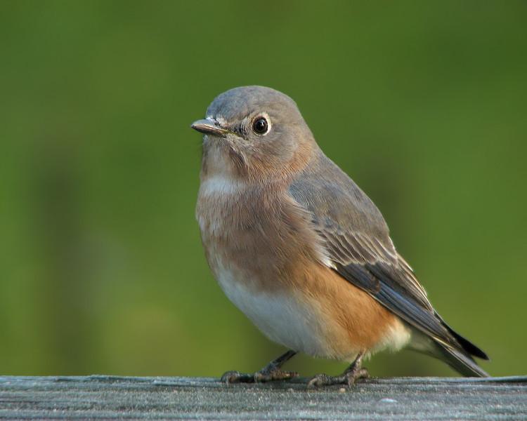 bluebird_3285.jpg