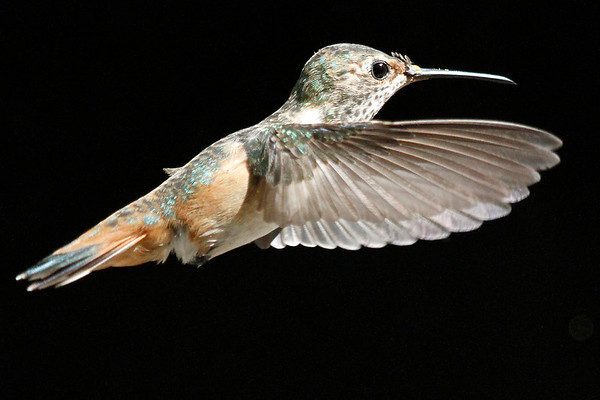 More Backyard Hummingbirds