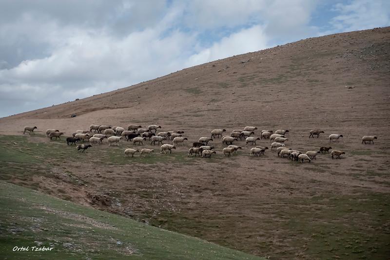 כבשים.jpg