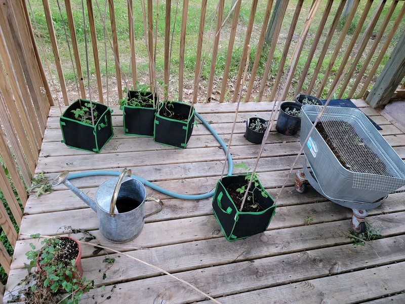 used sticks from giant grass to make tomato climbing things.