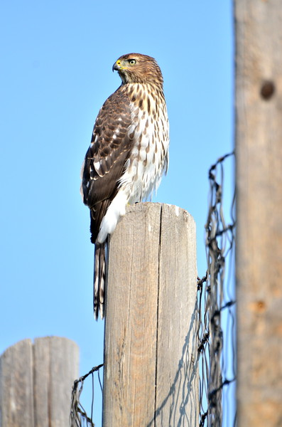 Coopers Hawk at Walker Ranch.JPG