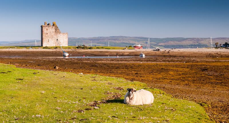 Sheep at Lochranza Castle