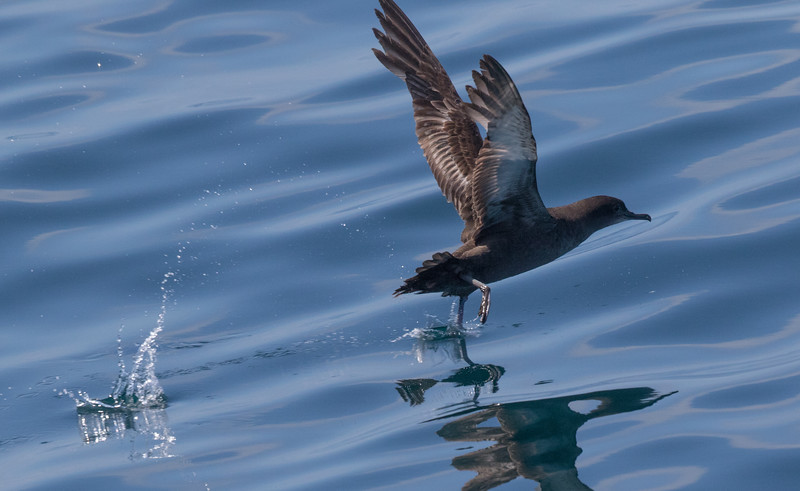 Sooty Shearwater San Diego Waters  2019 05 24-2.jpg