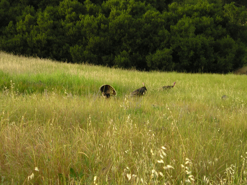 Wild turkeys, with the tom strutting his stuff for his womenfolk. I just couldn't get close enough with this camera--they were way out there.