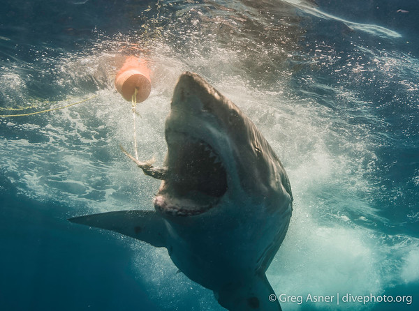 Feature: Guadalupe's Great Whites