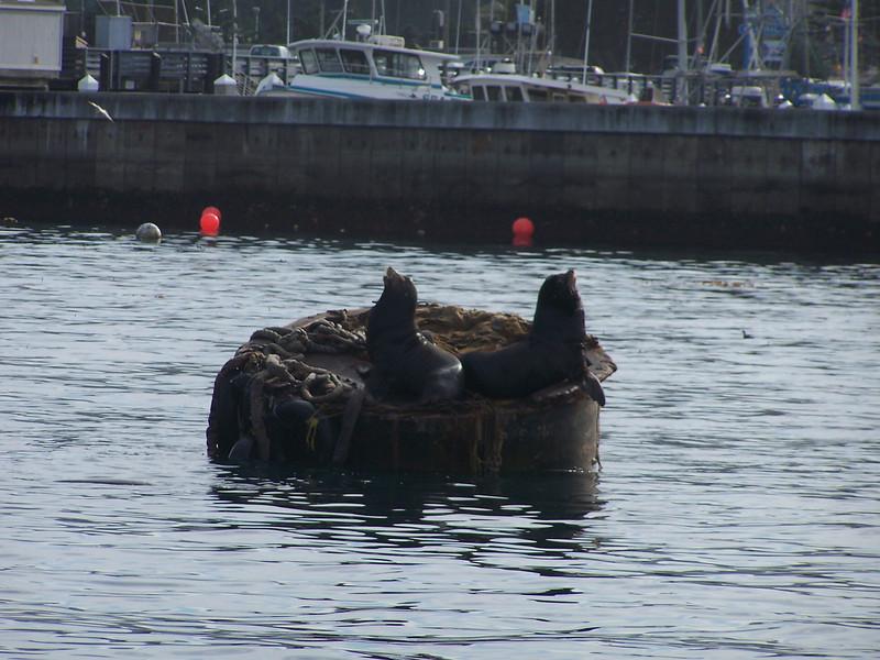 Sea Lion duet