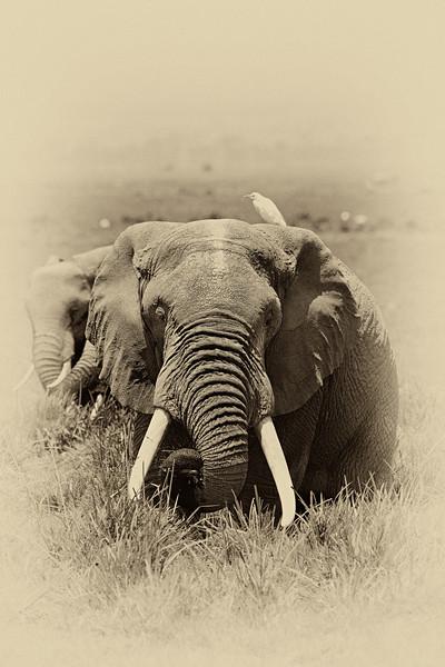 Elephant 0484