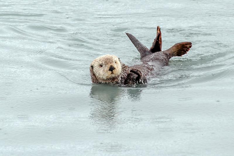 Sea Otter - Valdez