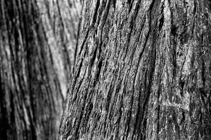 DeVoto Cedars