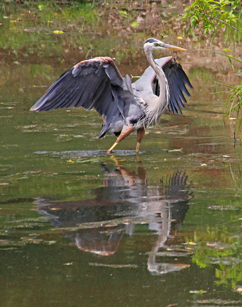 leavitt_great blue heron.jpg