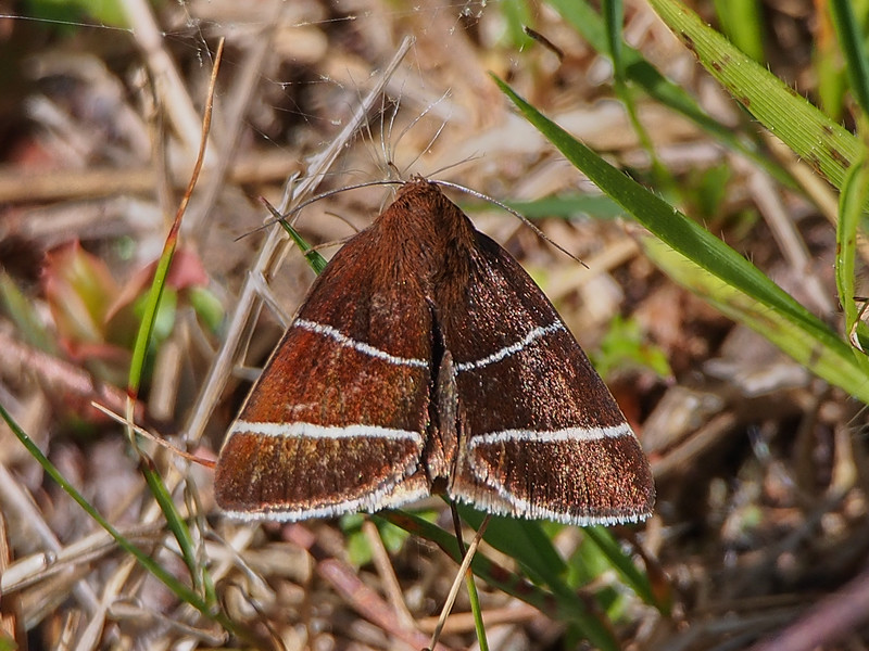Four-Lined Chocolate Moth (8762: Argyrostrotis quadrifilaris)