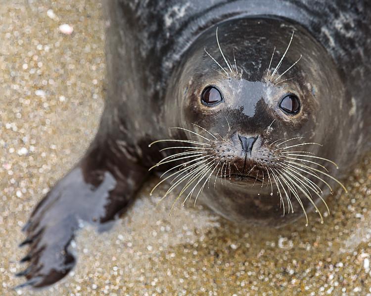 seal lajolla close up.jpg