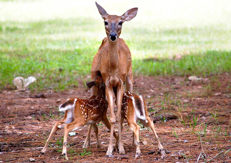 12_22_19 Mother doe feeding her babies.jpg