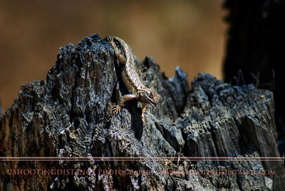 A Western Fence Lizard flexes to show its prowess to the lady photographer