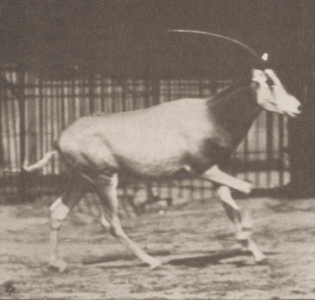 Oryx galloping