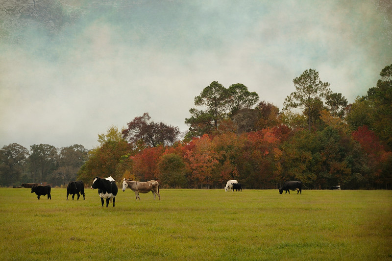 We're beginning to see small clumps of the changing leaves.  I stopped by this field on the way home to check out the popcorn trees.  The animals were scattered about creating a sweet pastoral landscape. <br /> <br /> Texture by Shadow House Creations