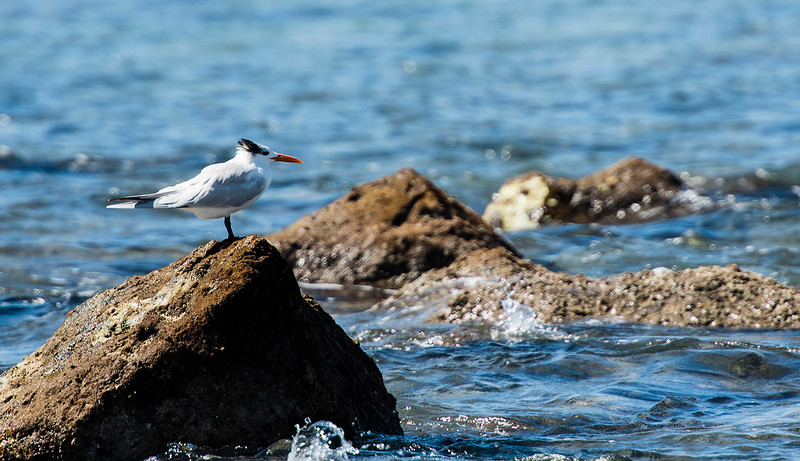 royal terns2 lr.jpg