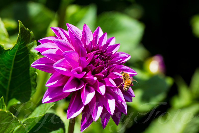 Purple Bumblebee Flower
