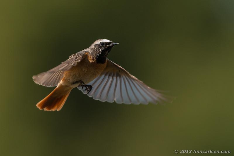 Rødstjert (Phoenicurus phoenicurus -Redstart)