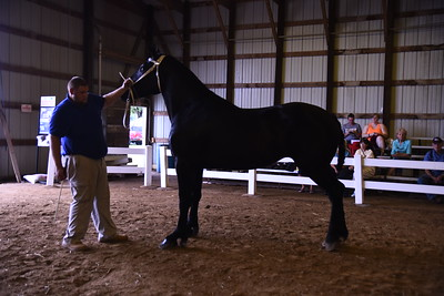 Percheron Mare 3-4