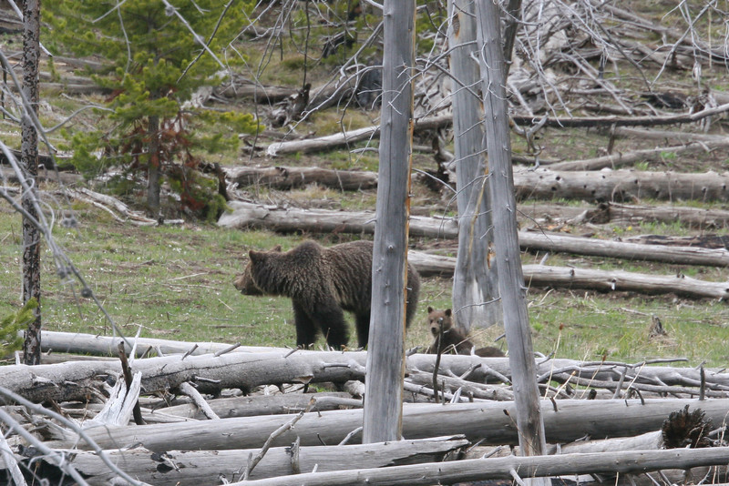Mother Grizzly and two cubs